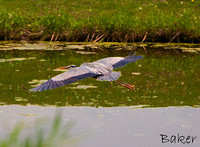 Hovering Heron