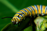Monarch Caterpillar (Monarch)