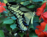 Swallowtail in the Petunias